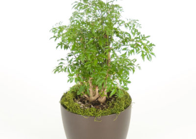 Aralia Ming Stump
