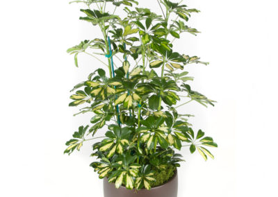 Schefflera Arboricola Column Variegated
