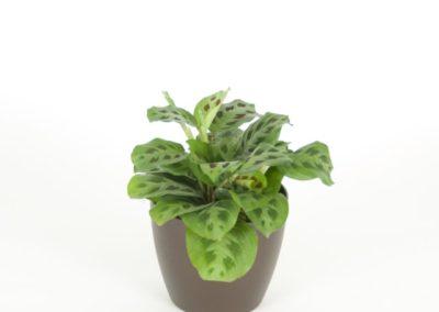 Green Maranta