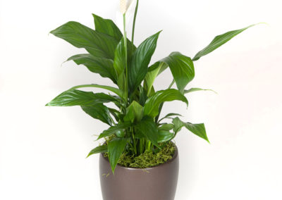 Spathiphyllum Dario ( closet plant, very forgiving)